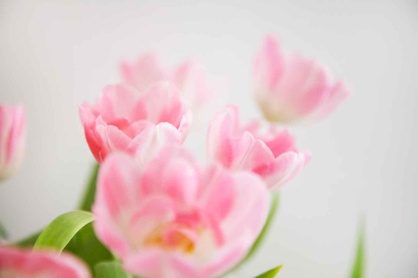youbold-tulipe10