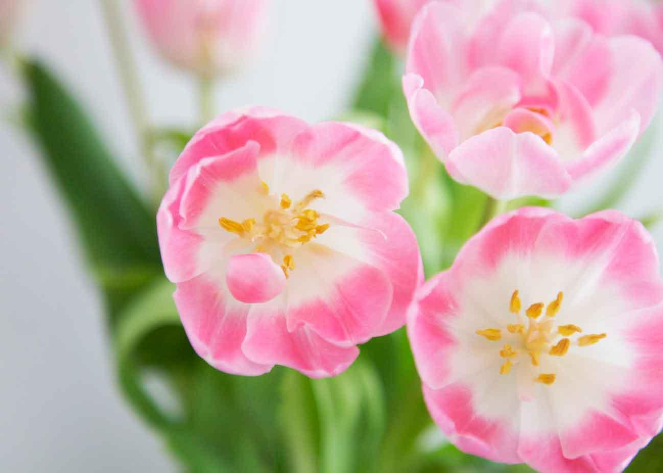 youbold-tulipe11