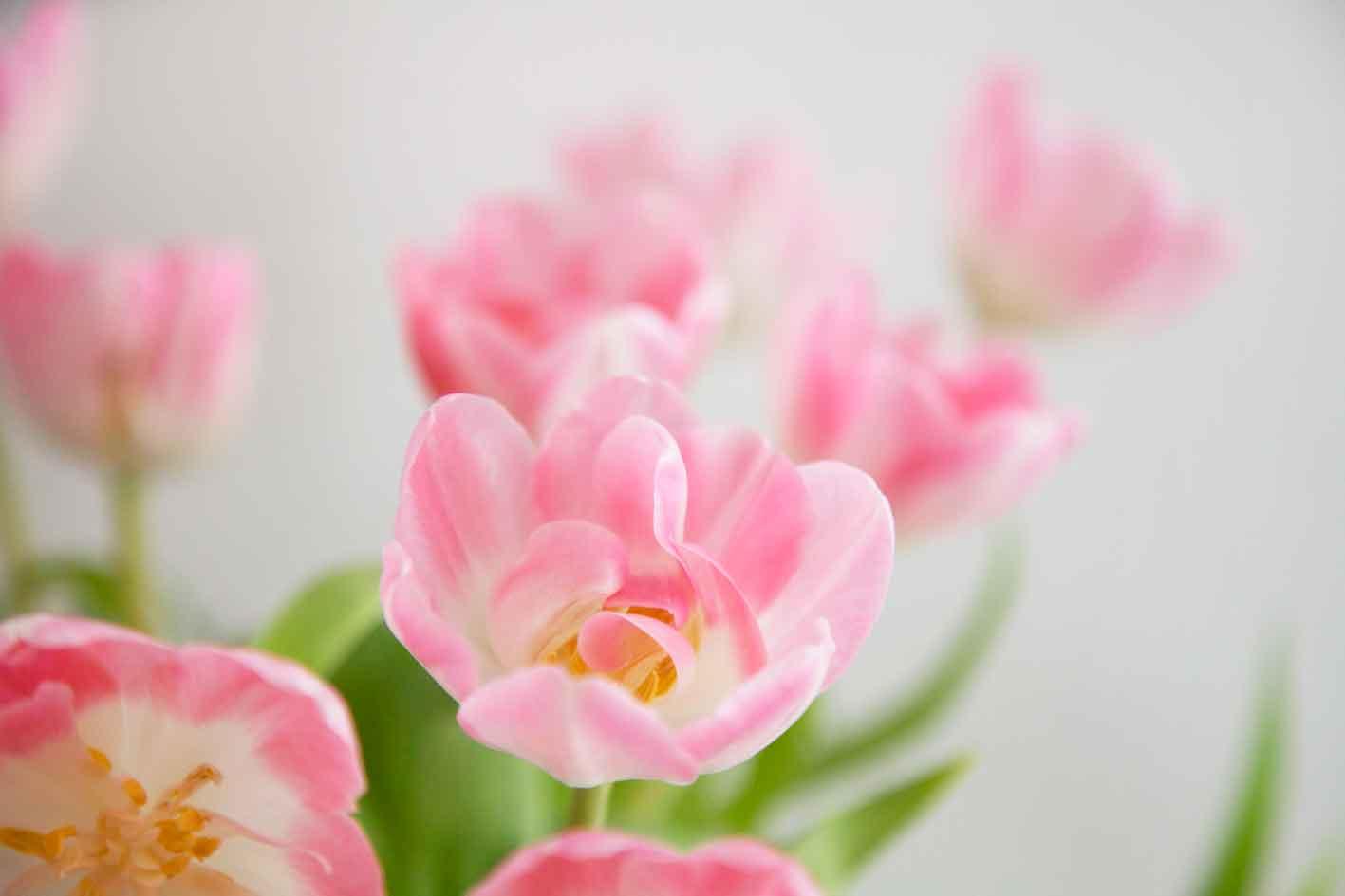 youbold-tulipe12